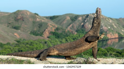The Komodo dragon with open mouth. Biggest living lizard in the world. Scientific name: Varanus komodoensis. Natural habitat, Island Rinca. Indonesia.