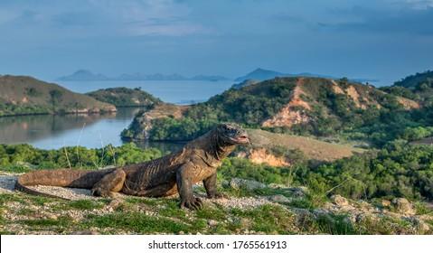 Komodo dragon, portrait with landscape view. Komodo dragon is the biggest living lizard in the world. Scientific name:  Varanus komodoensis. Wild nature. Natural habitat.  Rinca Island. Indonesia