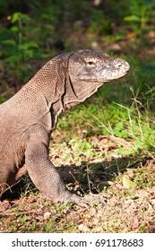 Komodo Dragon Portrait shows scaly, wrinkled skin.
