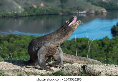 The Komodo dragon raised the head with open mouth. Scientific name: Varanus komodoensis.  Biggest living lizard in the world. Rinca Island. Indonesia.