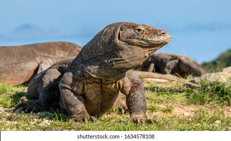 The Komodo dragon raised the head with open mouth. Scenic view onb the background,  Scientific name: Varanus Komodoensis. Natural habitat. Indonesia. Rinca Island.