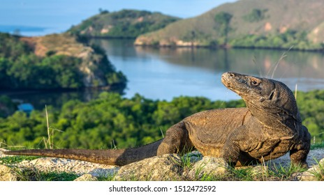 Komodo dragon. Scientific name: Varanus komodoensis. Biggest in the world living lizard in natural habitat.  Landscape of Island Rinca. Indonesia.