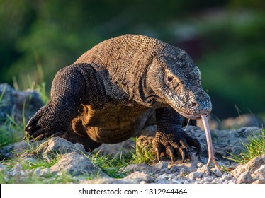 Komodo dragon sniffs the air with his forked tongue.. Scientific name: Varanus komodoensis. Biggest in the world living lizard in natural habitat. Island Rinca.