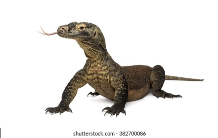 Komodo Dragon sticking the tongue out, isolated on white (4 years old)