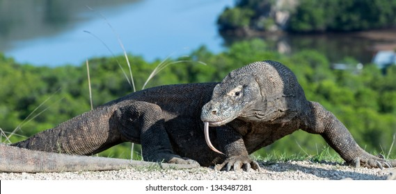 Komodo dragon, stuck out forked tongue and sniff air.  The Komodo dragon, scientific name - Varanus komodoensis. Scenic view on the background. Natural habitat. Rinca Island.  Indonesia.