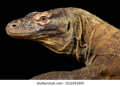 The Komodo dragon (Varanus komodoensis)