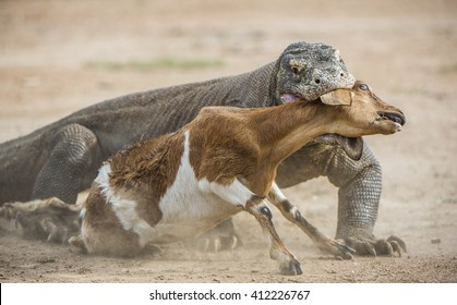 The Komodo dragon (Varanus komodoensis) attacks the prey. It is the biggest living lizard in the world.On island Rinca. Indonesia.