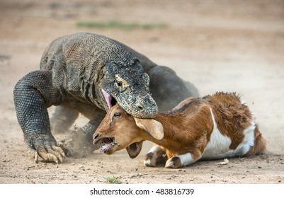 The Komodo dragon (Varanus komodoensis) attacks the prey. It is the biggest living lizard in the world. Island Rinca. Indonesia.