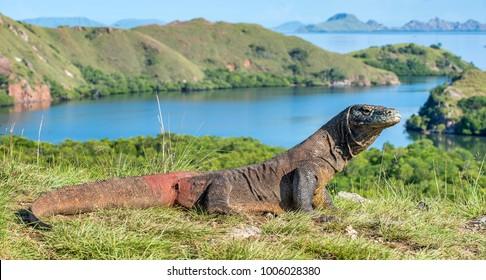 Komodo dragon. ( Varanus komodoensis ) Biggest in the world living lizard in natural habitat. Rinca Island. Indonesia.