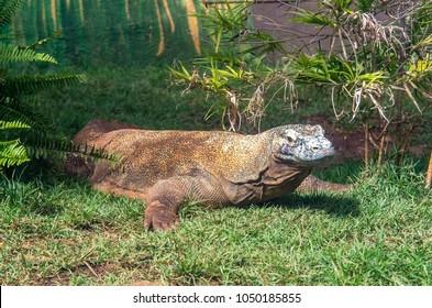 Komodo dragon (Varanus komodoensis), as the biggest  living lizard can grow to a length of 3 meters.