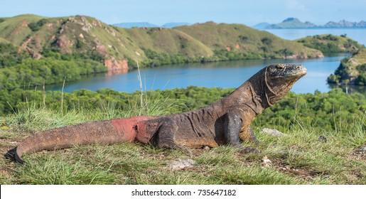 Komodo dragon ( Varanus komodoensis ) is the biggest living lizard in the world.  On island Rinca. Indonesia.