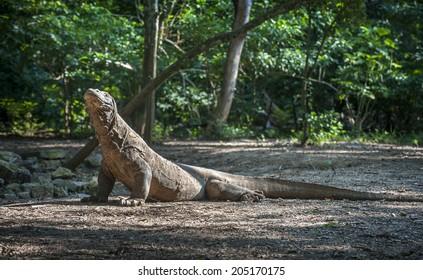 Komodo Dragon.The Komodo dragon (Varanus komodoensis), also known as the Komodo monitor, is a large species of lizard found in the Indonesian islands of Komodo, Rinca, Flores, Gili Motang, and Padar.