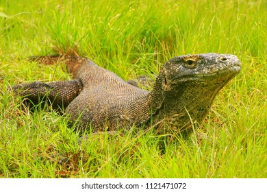 Komodo dragon (Varanus komodoensis) lying in grass on Rinca Island in Komodo National Park, Nusa Tenggara, Indonesia. It is the largest living species of lizard