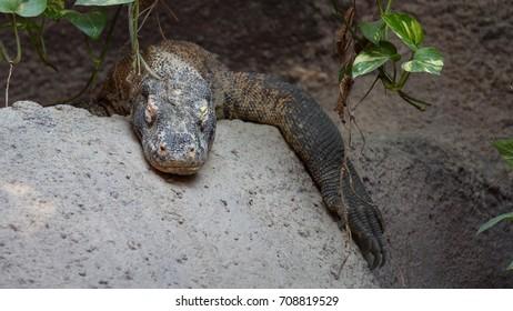 Komodo dragon (Varanus komodoensis) mature sleeping in natural habitat - Shutterstock ID 708819529