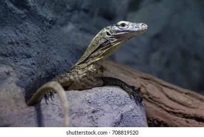 Komodo dragon (Varanus komodoensis) in natural habitat - Shutterstock ID 708819520