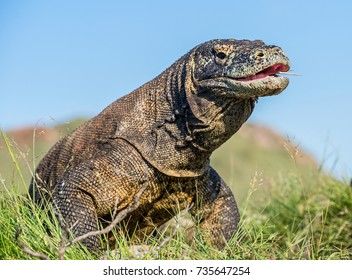 The Komodo dragon ( Varanus komodoensis ) raised the head with open mouth. It is the biggest living lizard in the world. Island Rinca. Indonesia.