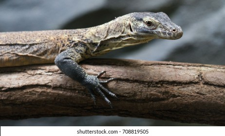 Komodo dragon (Varanus komodoensis) small sitting on the tree - Shutterstock ID 708819505