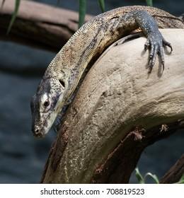 Komodo dragon (Varanus komodoensis) small sitting on the tree - Shutterstock ID 708819523