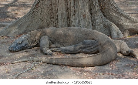 Komodo Isolated Images Stock Photos Vectors Shutterstock