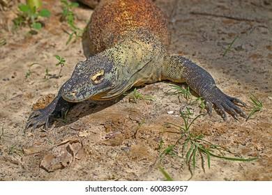 A Komodo Dragon (Varanus Komodoensis) Warming in the Sun