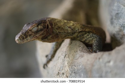 Komodo dragon (Varanus komodoensis) young sleeping - Shutterstock ID 708819514