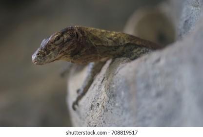 Komodo dragon (Varanus komodoensis) young in natural habitat - Shutterstock ID 708819517