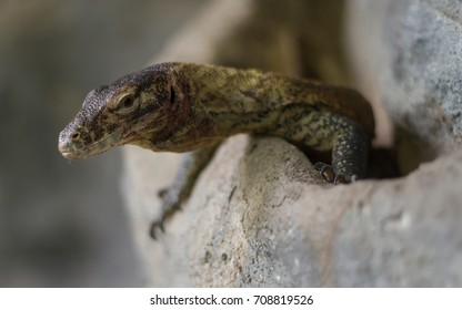 Komodo dragon (Varanus komodoensis) young - Shutterstock ID 708819526