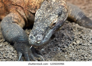 Komodo dragon in the wild on the island Flores in Indonesia