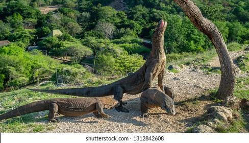 Komodo dragons. The Komodo dragon raised the head and open a mouth. Biggest living lizard in the world. Scientific name: Varanus komodoensis. Natural habitat, Island Rinca. Indonesia.