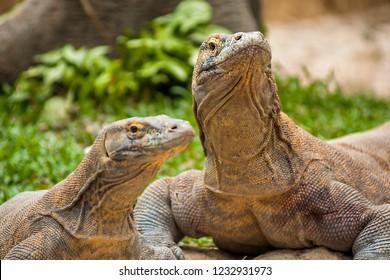 Komodo dragons (Varanus komodoensis) the biggest living lizard in the world from Komodo Island, East Nusa Tenggara, Indonesia.