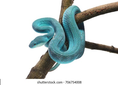 Komodo island pit blue viper isolated on white background