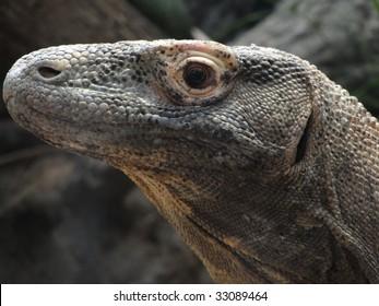 Komodo monitor lizard [Varadus komodoensis]