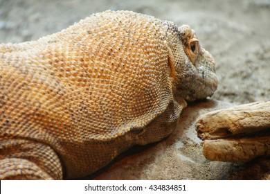 Komodo monitor lizard (Varadus komodoensis)  Seattle