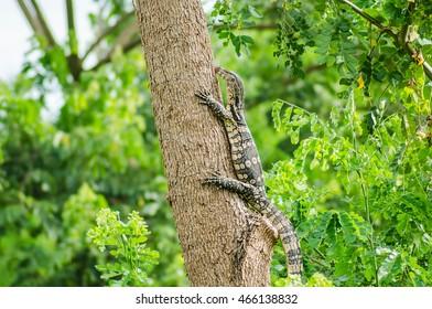 Komodo on tree