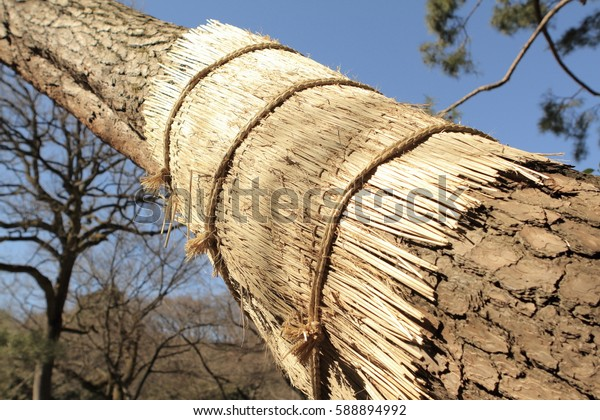 Komomaki or straw belts get wrapped around the trunks of pine trees for pest control purpose in Meiji Jingu Garden