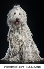 Komondor Dog, Hungarian Shepherd on Isolated Black Background