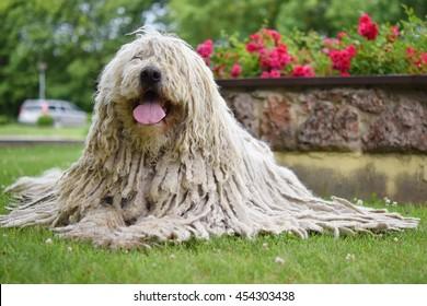 Komondor (Ungarischer Schafhund), der im Park liegt