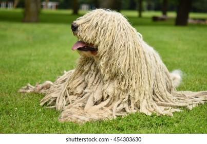 Komondor (ungarischer Schafhund) auf grünem Gras