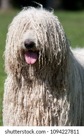 Komondor (Hungarian sheepdog) posing in the park
