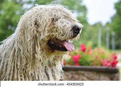 Komondor (Hungarian sheepdog) sitting in the park