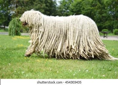 Komondor (Ungarischer Schäferhund), der im Park spaziert