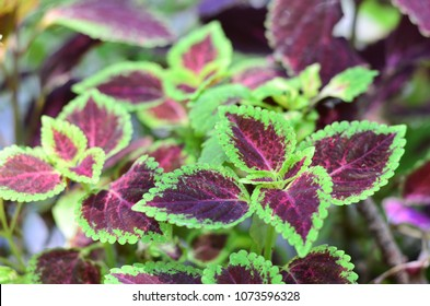 Kong rose coleus plant care