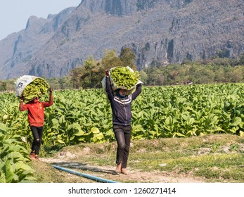 Konglor, Laos - February 11, 2018: Two farmers are carrying the harvested tobacco leaves. They bring them to the place, where they are prepared for drying.