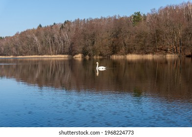 Konie, Poland - March 31 2021: White Swan in Konie Lake (Jezioro Konie). West Pomeranian Voivodeship. - Shutterstock ID 1968224773
