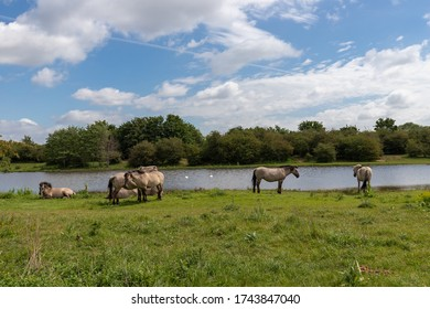 Konik breed horses grazing next to a lake in the natural park Eijsder Beemden (english Eijsder Beemden) alongside the river Meuse as part of a natural ecology system in this area