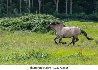 Konik hors running in a grass land in Lentevreugd, The Netherlands