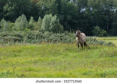 Konik hors standing in a grass land in Lentevreugd, The Netherlands