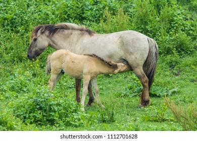 konik horse foal drinking from mother in Oostvaardersplassen nature reserve