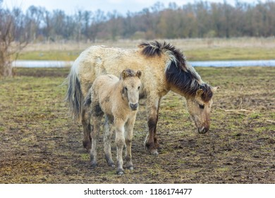 Konik horse mare with young foal in winter coats in March at Oostvaardersplassen, the netherlands