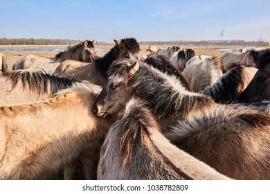 KONIK HORSE AT OOSTVAARDERSPLASSEN NETHERLANDS